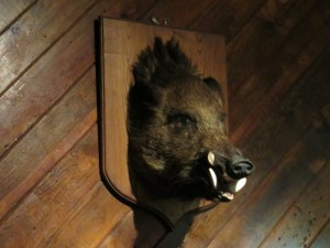 A classic of Italian pizzeria or salumeria interior decor, a wild boar, akak cinghiale.